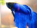 Blue_Betta_by_Fishybobo