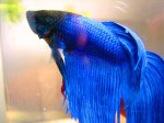Blue_Betta_by_Fishybobo
